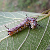 Caterpillar of Common Crow