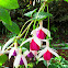 Fuchsias or Ladies' Eardrops