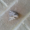 Robinson's Underwing Moth