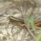 Grasshopper sps