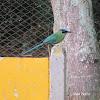 Barranquero Coronado - Andean Motmot