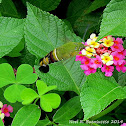 Coffee Bee Hawk Moth