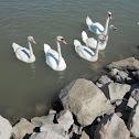 Swans - Hattyú