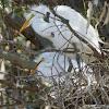 Great Egret (Fledgling)