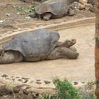 Pinta Giant Tortoise