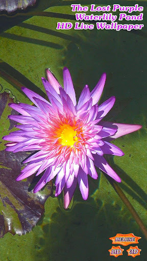 The Lost Purple Waterlily Pond