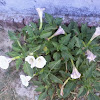 Datura, mad plant, thorn apple