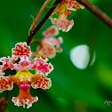 Orquídea de cocuite