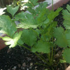Cilantro / coriander