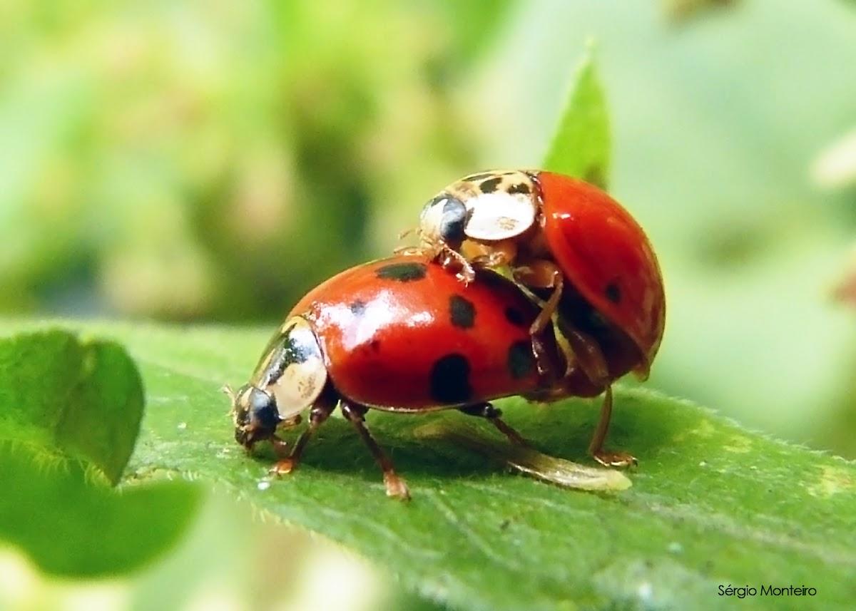 Joaninha (Harmonia ladybug)