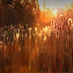 Cattails #8 by Johnny Gomez - Landscapes Prairies, Meadows & Fields ( riverside, cattails, glow, fire, fields )