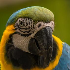 Macaw portrait by Graeme Wilson - Animals Birds
