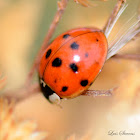 Seven-spotted ladybird beetle