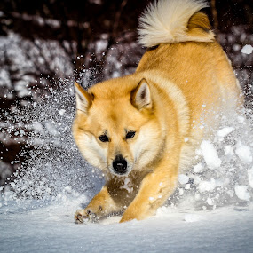 Playful by Elisabeth Sjåvik Monsen - Animals - Dogs Running ( winter, snow, play, norwegian buhund, run, dog, norway,  )