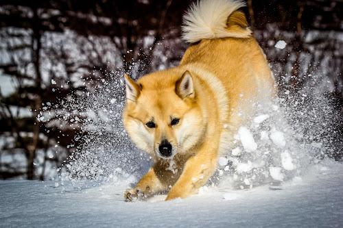 Playful by Elisabeth Sjåvik Monsen - Animals - Dogs Running ( winter, snow, play, norwegian buhund, run, dog, norway,  )