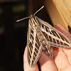 Hawk Moth or White Lines Sphynx