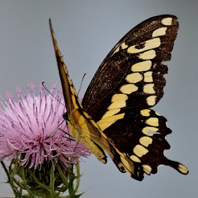 Swallowtail by Ann Overhulse - Animals Insects & Spiders