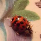 Ladybug (Asian)