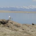 American Herring Gull (Colorado)