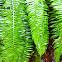 Sword fern