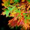 fall leaves 389.JPG