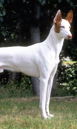 Ibizan Hound Wallpapers