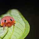 Lady-bird Mimick spider