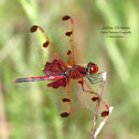 Calico Pennant Dragonfly (M)