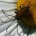 Soldier beetle, soldaatje (dutch)
