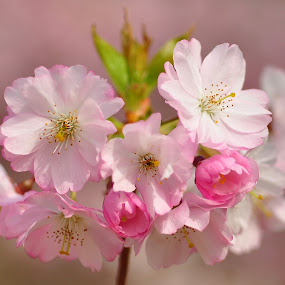 Crab Apple Blossom by Tony Steele - Flowers Tree Blossoms ( crab apple blossom )
