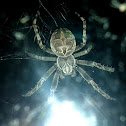 Grey cross spider