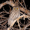 Bruce's Scops Owl