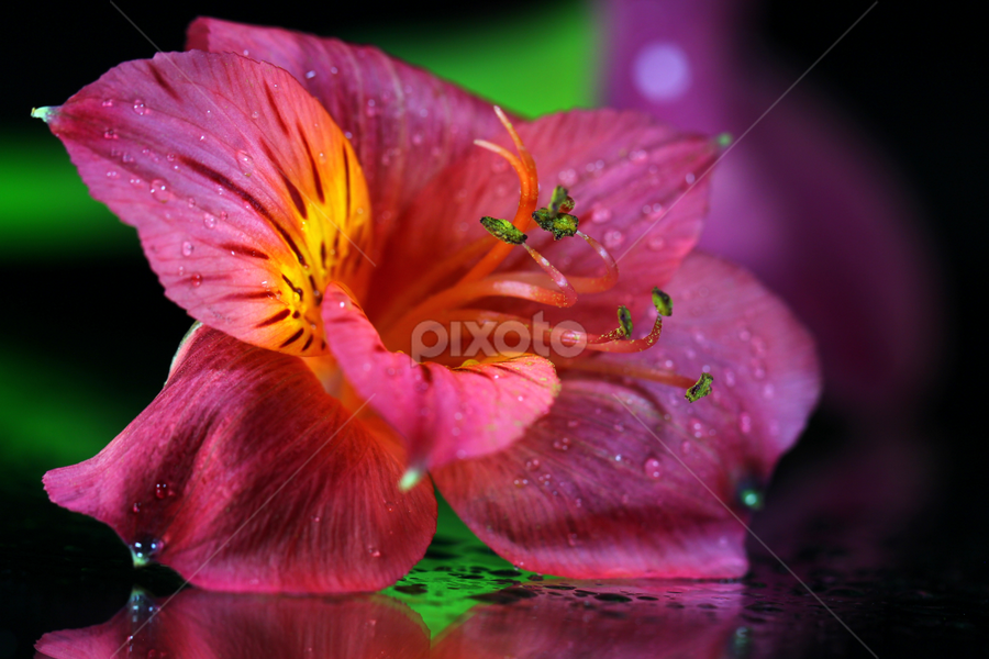 by Dipali S - Flowers Single Flower ( plant, detail, gift, single, seasonal, colorful, bright, botany, one, object, beauty, botanical, spring, pretty, blossom, close, macro, nature, fresh, head, closeup, flower, blooming, decoration, flora, beautiful, bloom, render, season, lily, color, summer, freshness, natural, garden, floral, growth )