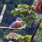 Martim pescador grande (Ringed Kingfisher)