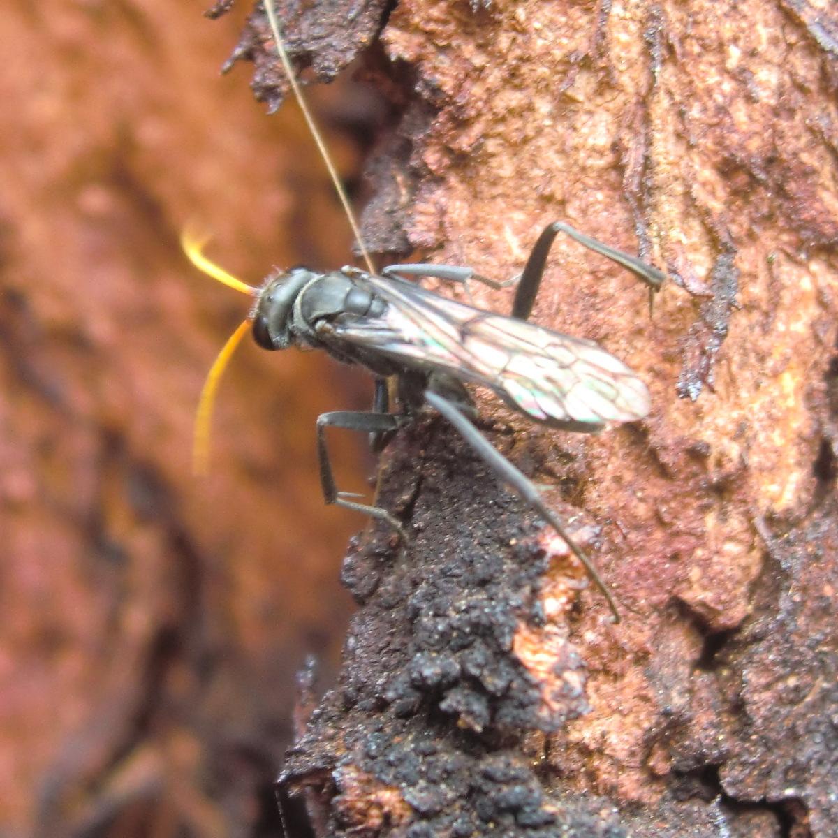 Black Spider Wasp