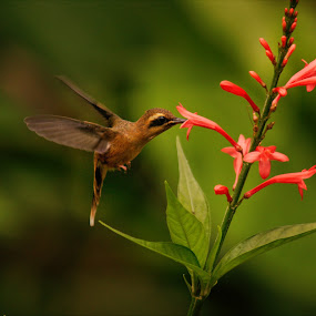 Feeding Hummingbird by Siggy In Costa Rica - Animals Birds ( bird, colibri, hummingbird, flower,  )