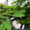 Leopard Lacewing (f)