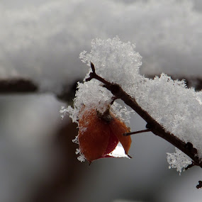 Frosted Berry  by Anne Santostefano - Nature Up Close Trees & Bushes ( nature, snow,  )