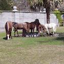 Feral horse; Wild horses