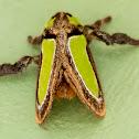 Darma Slug Moth