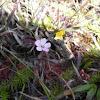 Planta carnívora grudenta