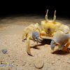 Ghost Crab.