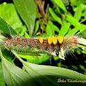 Brown Tussock Moth Caterpillar