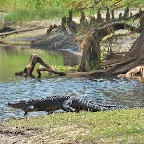 by Bo Chambers - Animals Reptiles