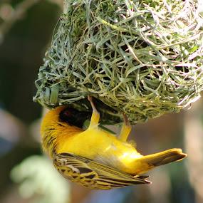 I'm working by Kleintjie Loots - Animals Birds