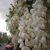 Wisteria floribunda 'Alba' (Glicinia blanca. Wisteria)