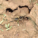 Nido de abeja cortahojas, leaf-cutter bee nest