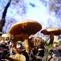 Pholiota mushroom