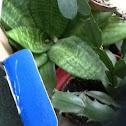 Birds nest Snake plant