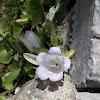 Pelion mt, Campanula flower